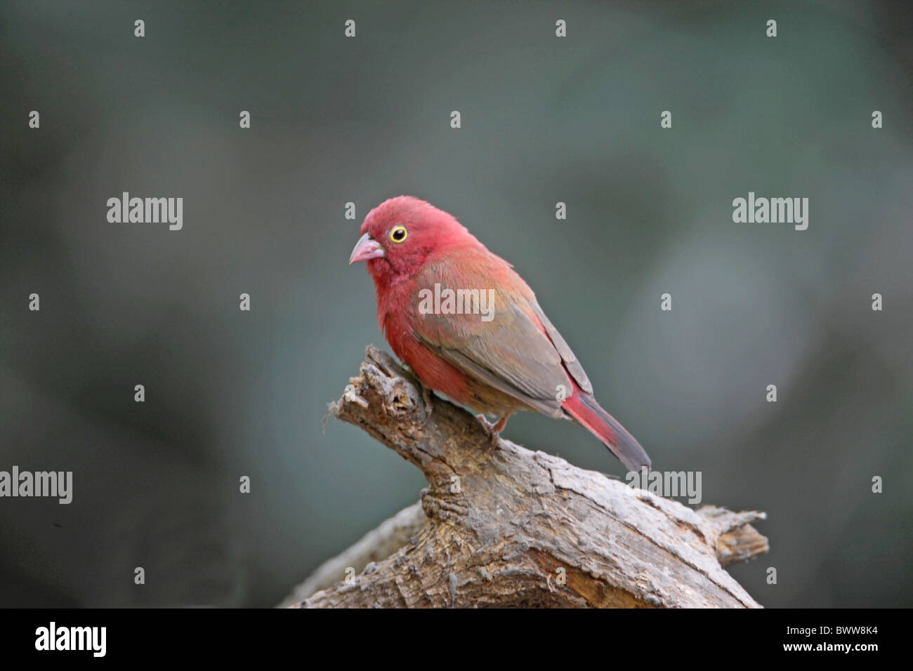 Red-billed Firefinch (Lagonosticta senegala) adult male, perched on branch, Gambia, december Stock Photo