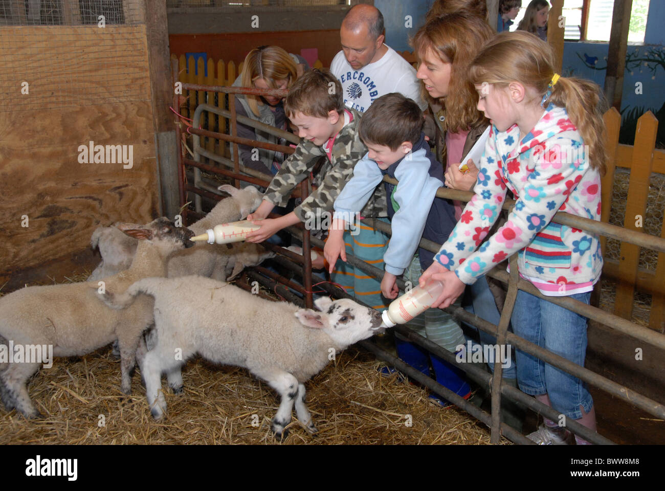 Domestic Sheep, lambs, bottle fed by children visting farm on 'Farm Sunday' annual national NFU event, Oxfordshire, Stock Photo