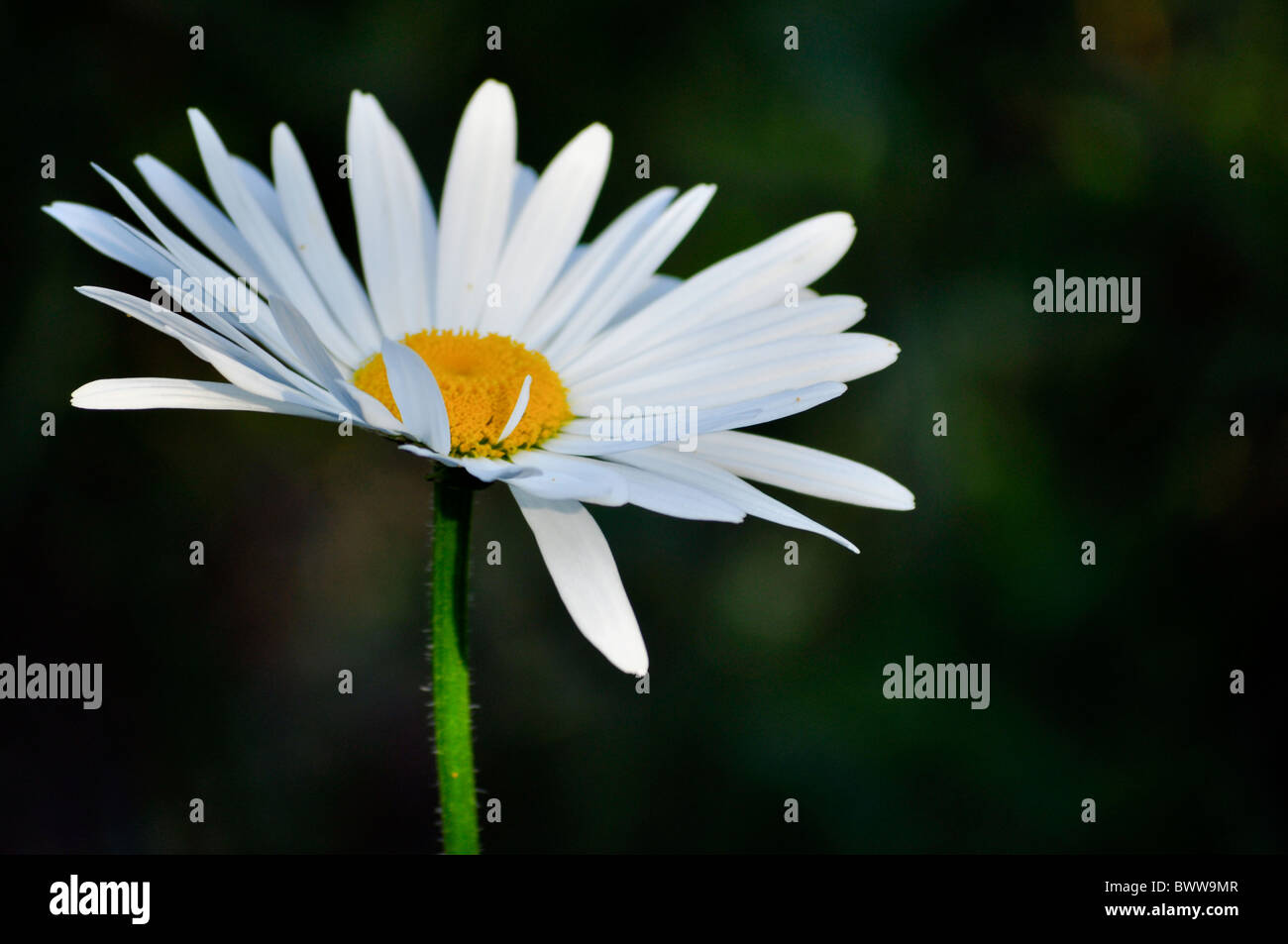 one single daisy white isolated on dark background - Stock Image
