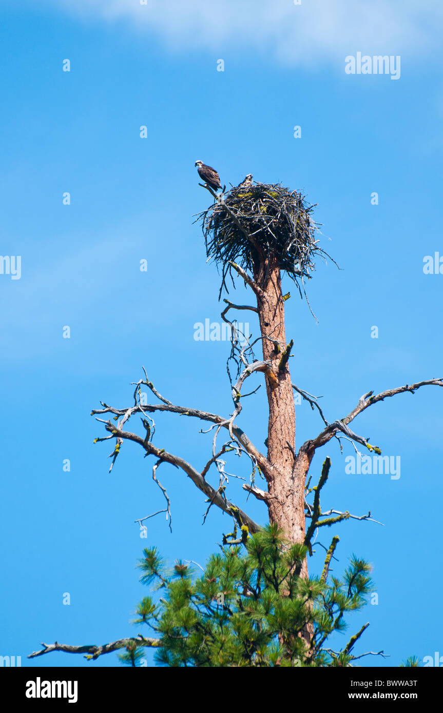 USA, Idaho, Wildlife, Female Osprey on nest with chicks atop a Ponderosa Pine Tree. Rafting the Middle Fork of the - Stock Image
