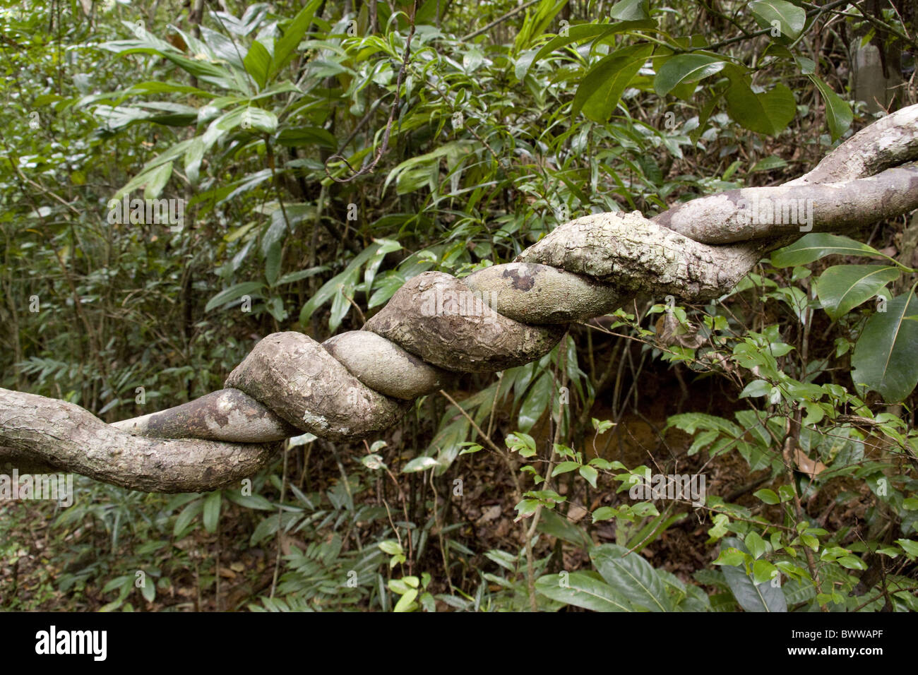 Twisted Tropical vine - Stock Image