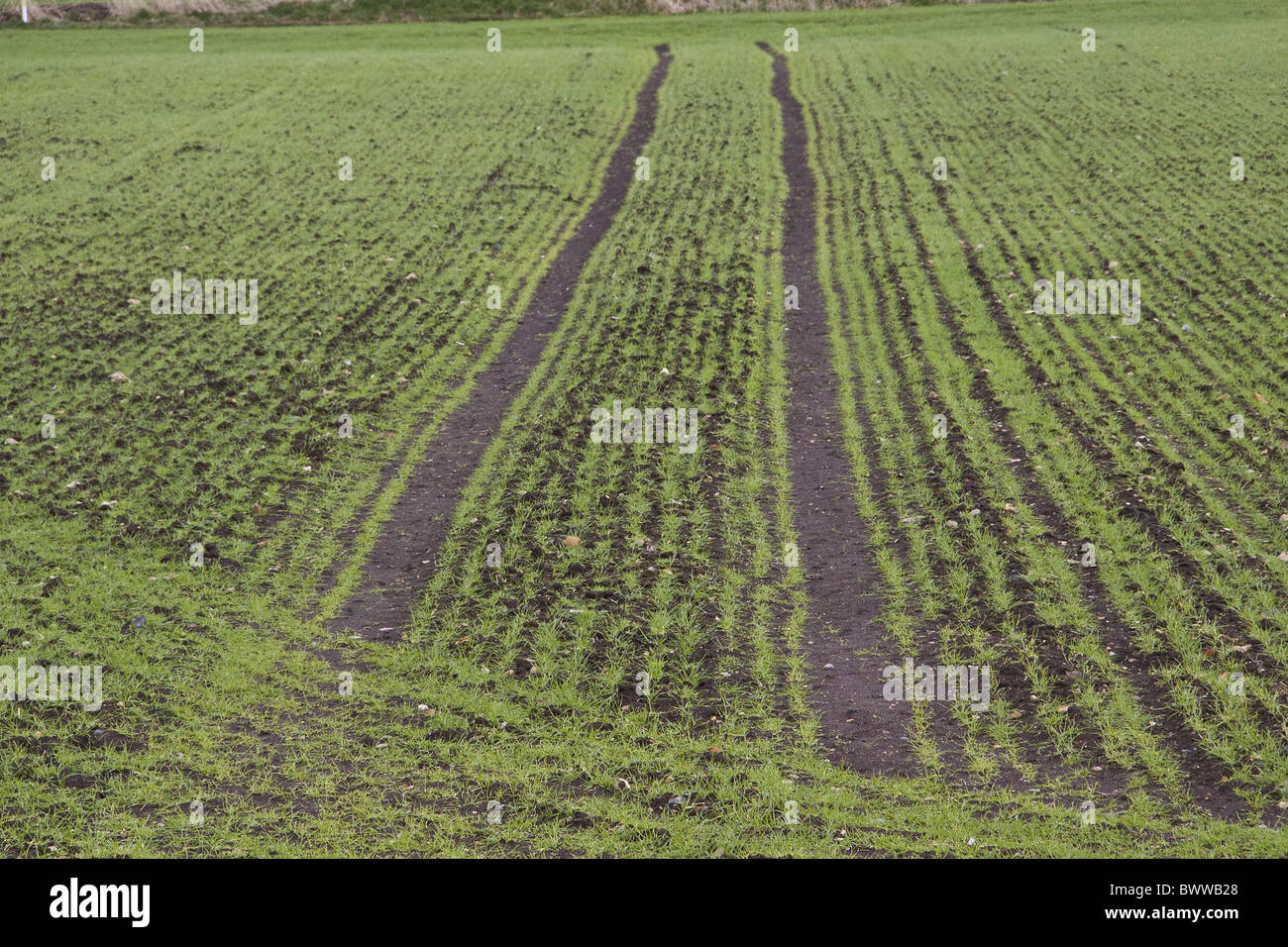 Spring sown wheat with tractor tramlines Stock Photo