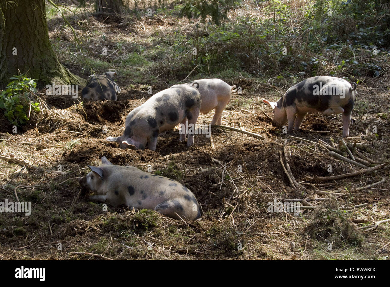 Gloucestershire old spot crossed with Duroc used - Stock Image