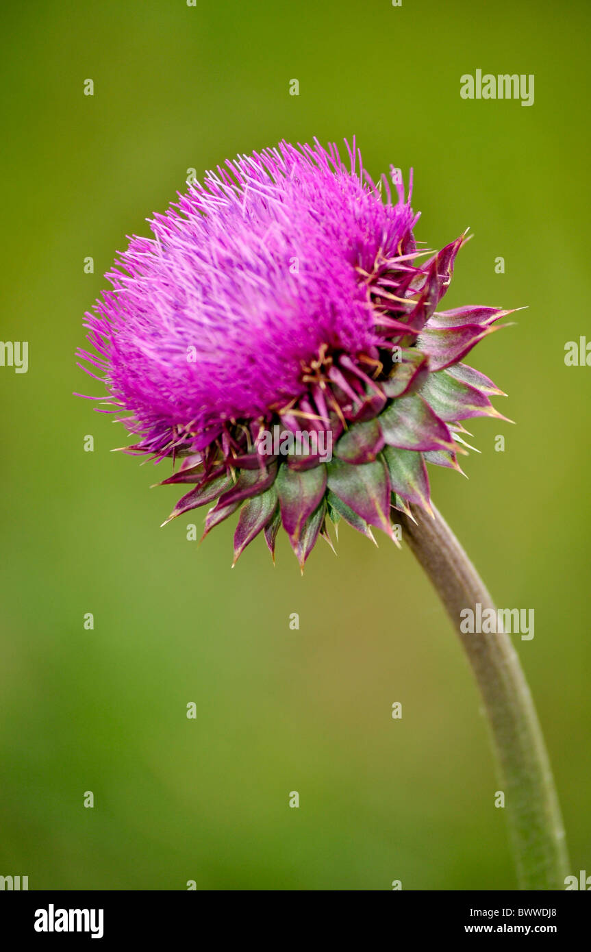 isolated purple thistle - Stock Image