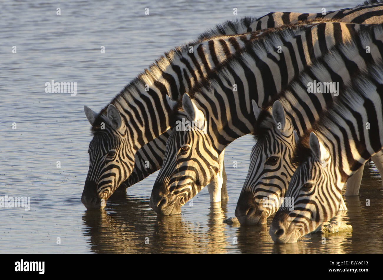 arid burchells drink dry dust etosha mammals namibia okaukeujo plains water waterhole zebra common plains burchells - Stock Image