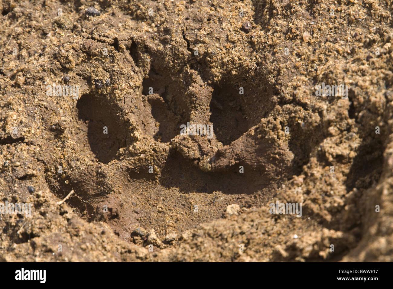 Leopard paw print Stock Photo: 33136579 - Alamy