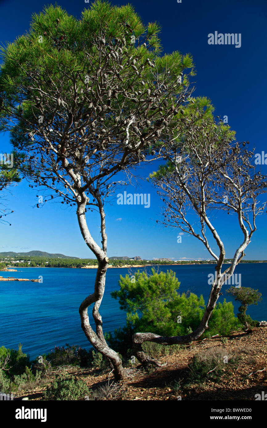 View of pine trees. Mediterranean forest. Stock Photo