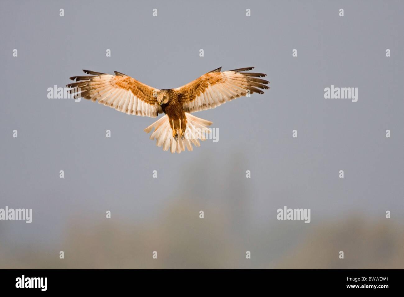 Marsh Harrier (Circus aeruginosus Stock Photo