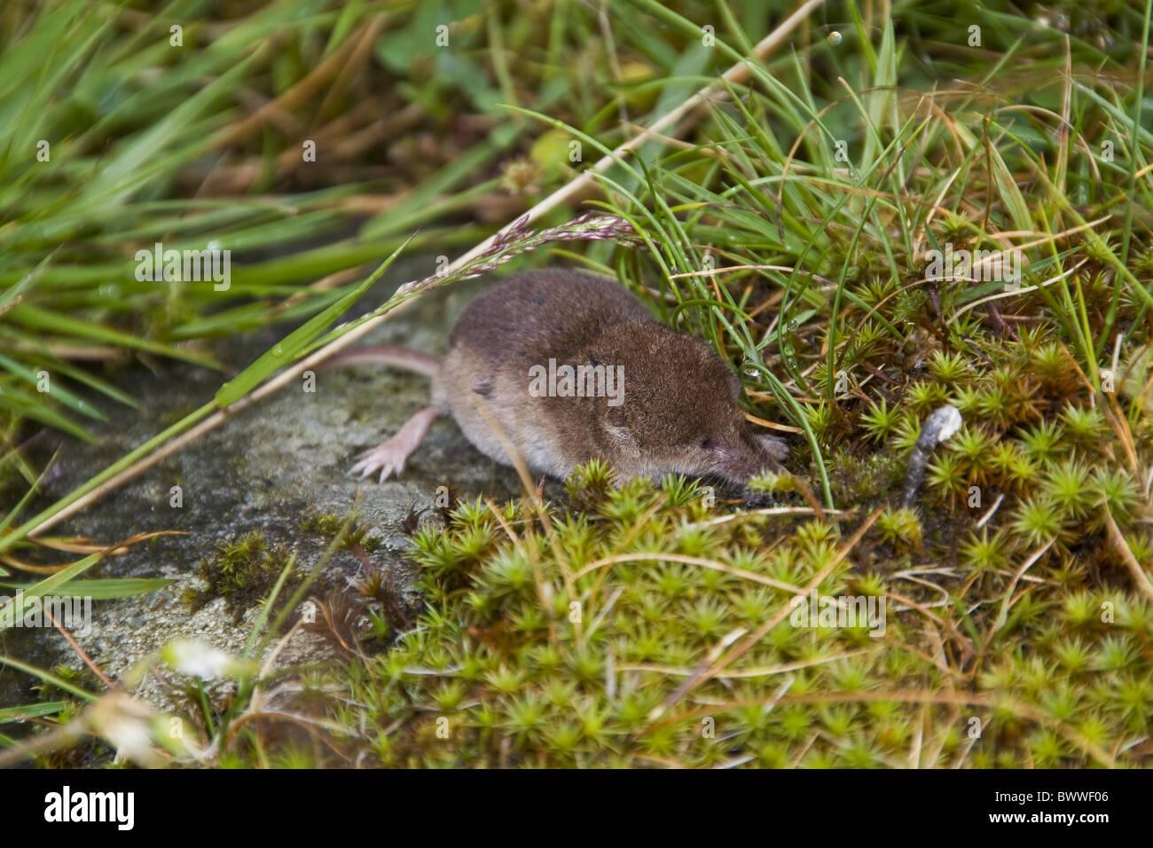 Pygmy Shrew photographed on isle Jura Scotland. - Stock Image