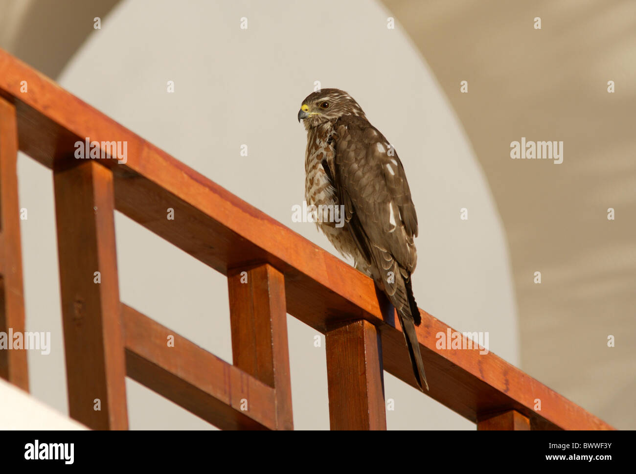 Levant Sparrowhawk (Accipiter brevipes) immature, perched on balcony, Sharm-El-Sheikh, Sinai Peninsula, Egypt, february - Stock Image