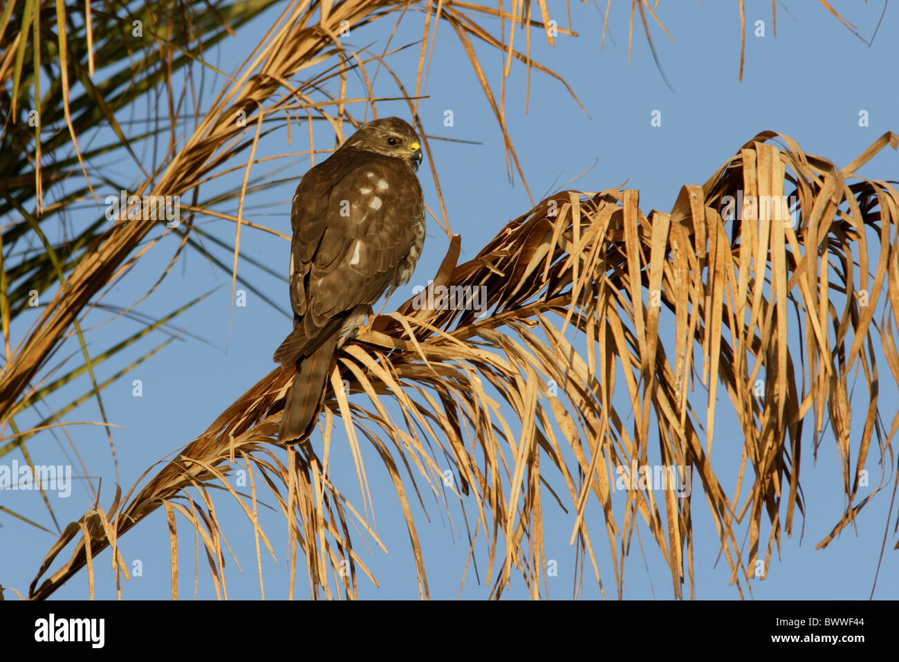 Levant Sparrowhawk (Accipiter brevipes) immature, perched in palm tree, Sharm-El-Sheikh, Sinai Peninsula, Egypt, - Stock Image
