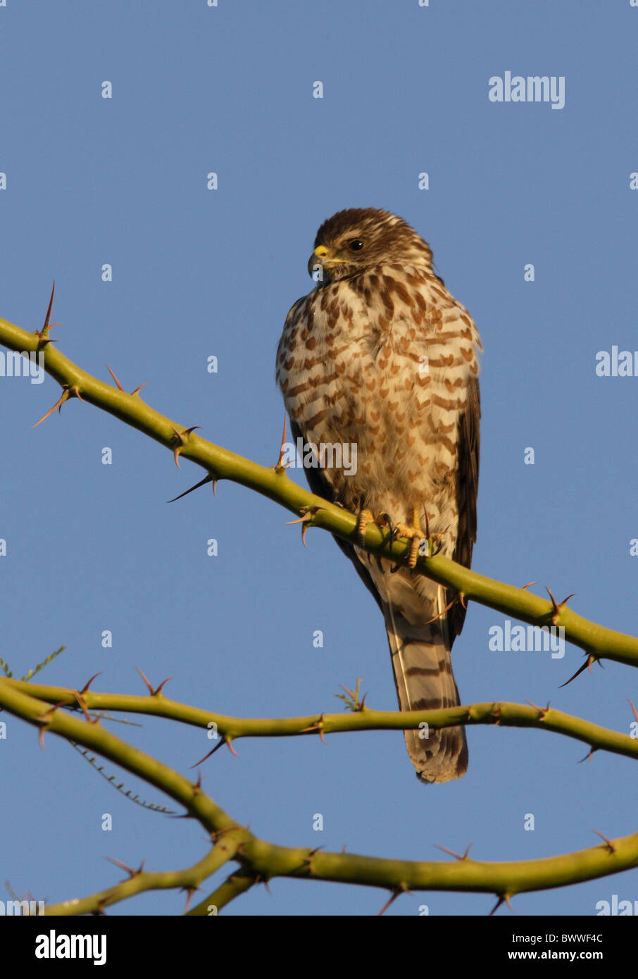 Levant Sparrowhawk (Accipiter brevipes) immature, perched in thorn tree, Sharm-El-Sheikh, Sinai Peninsula, Egypt, - Stock Image