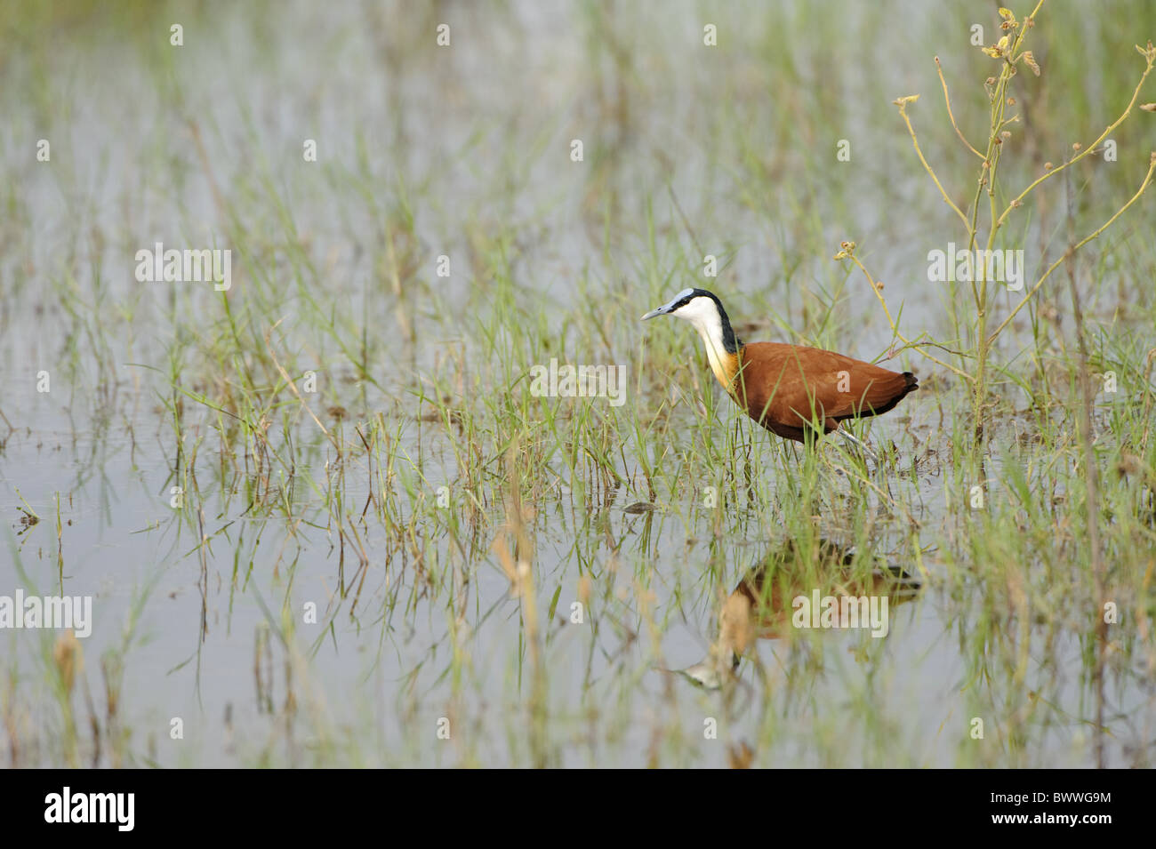African Jacana (Actophilornis africanus) adult, walking in water, Kwando, Linyanti, Botswana Stock Photo