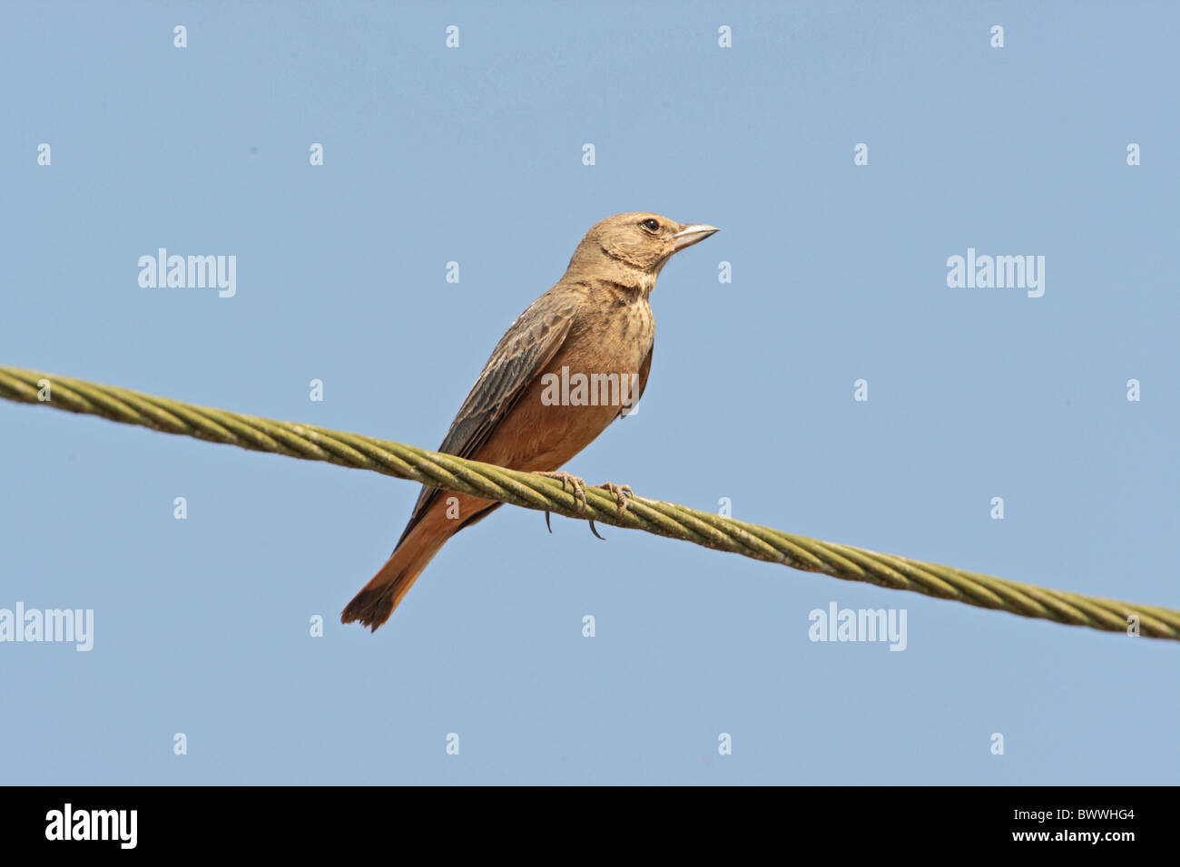 Rufous-tailed Lark (Ammomanes phoenicurus) adult, perched on wire, Chorao Island, Goa, India, november - Stock Image