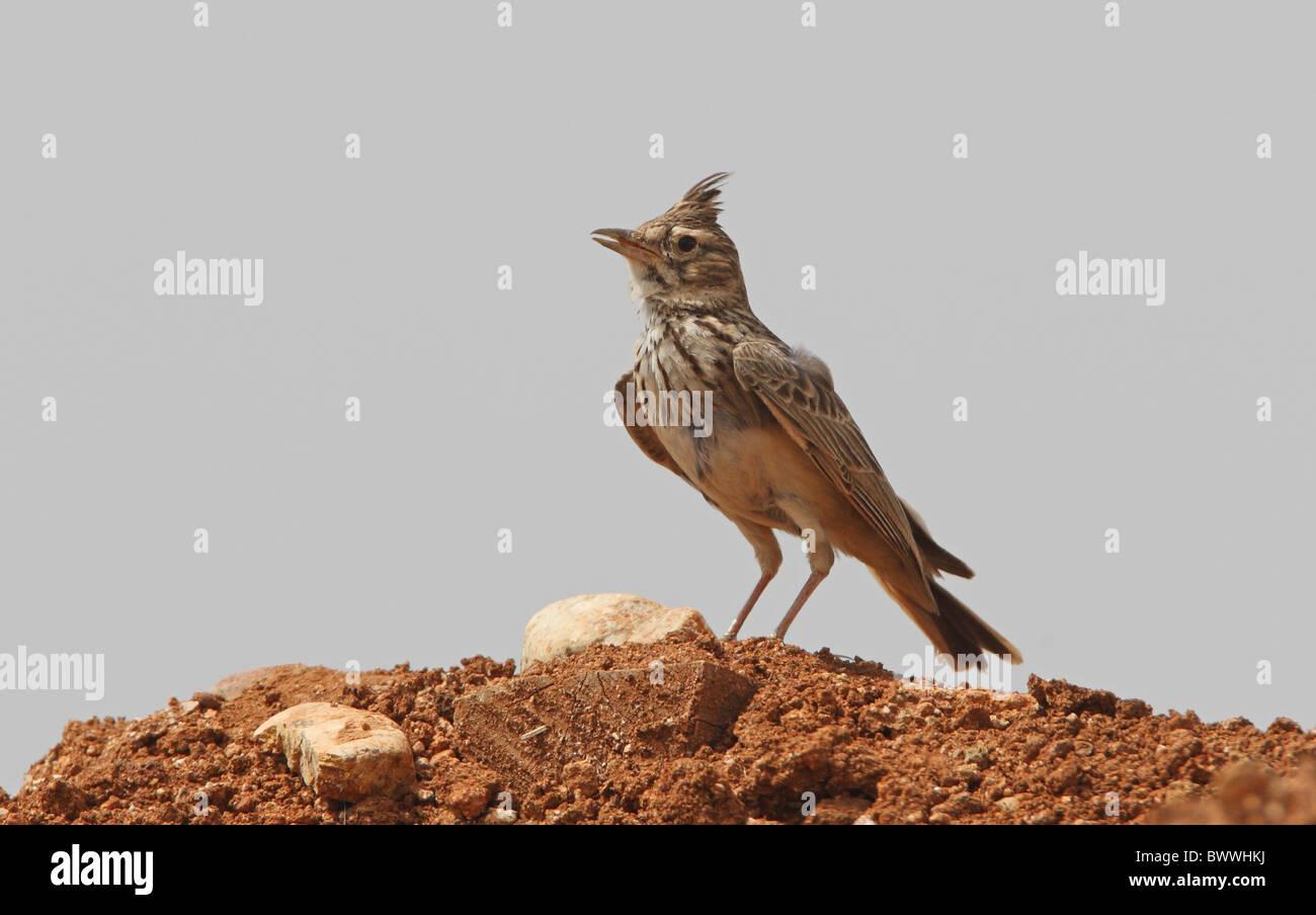 Thekla Lark (Galerida theklae superflua) adult, singing, standing on soil mound, Morocco, april Stock Photo