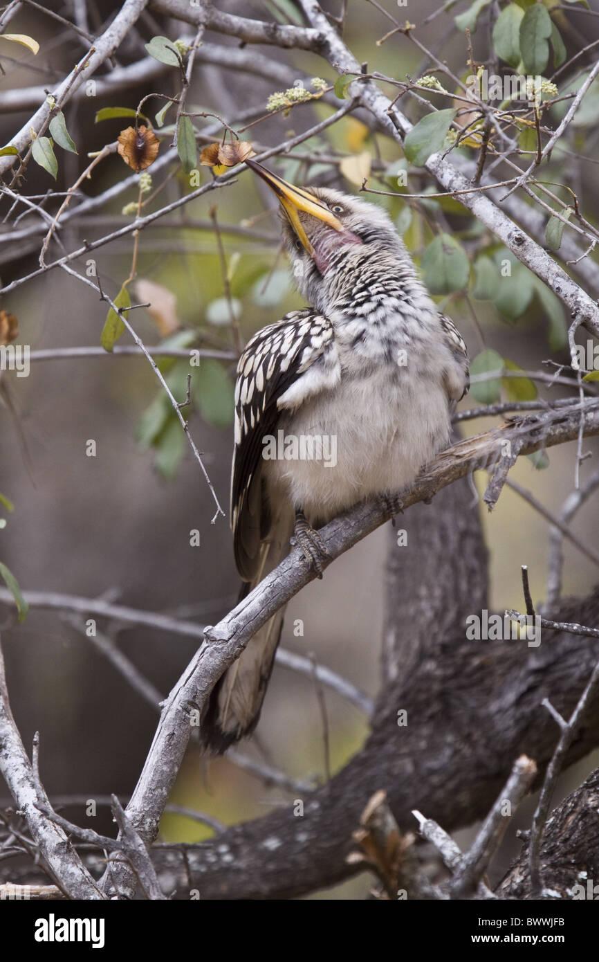 Yellowbilled Hornbill - Kruger Nat Pk South Africa - Stock Image