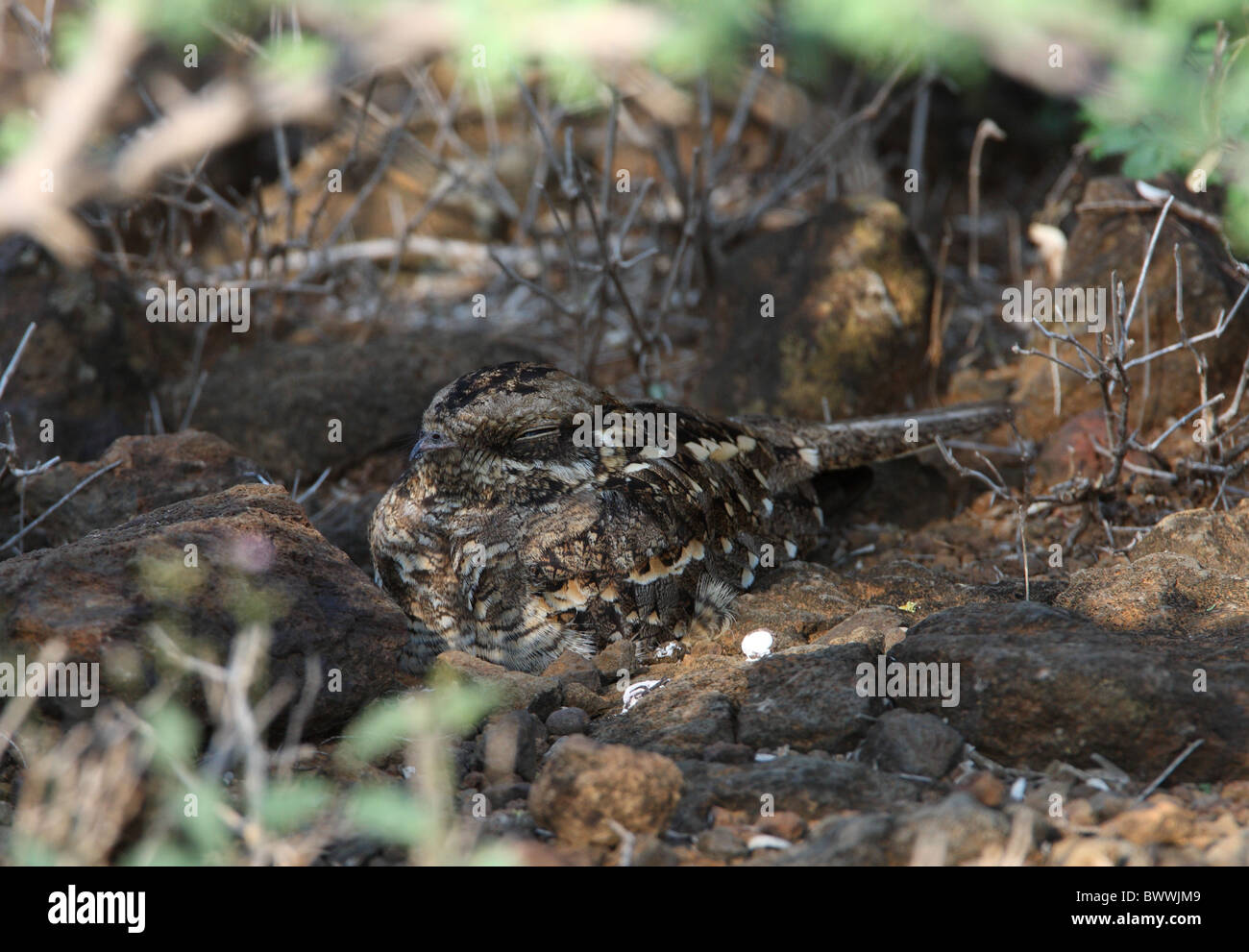 Slender-tailed Nightjar (Caprimulgus clarus apatelius) adult