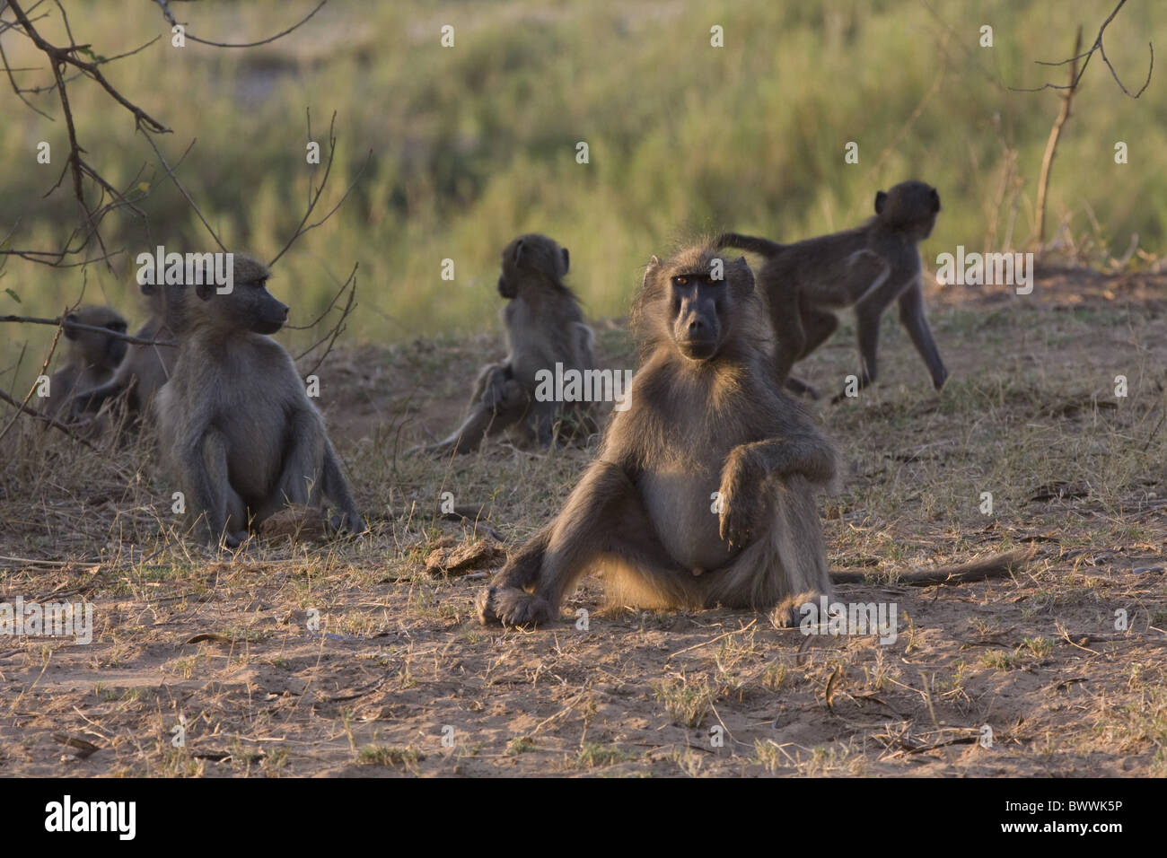Troop of Chacma Boboons - Stock Image