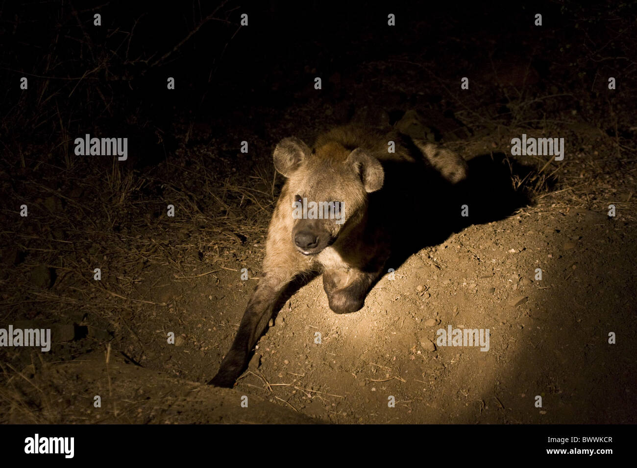 Spotted Hyaena photographed with spot light - Stock Image