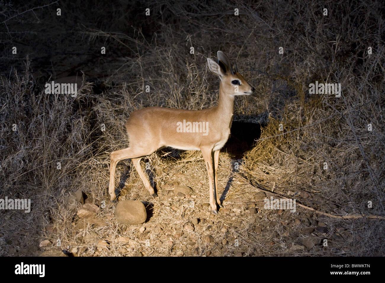 Male Steinbok photographed night using spot light - Stock Image