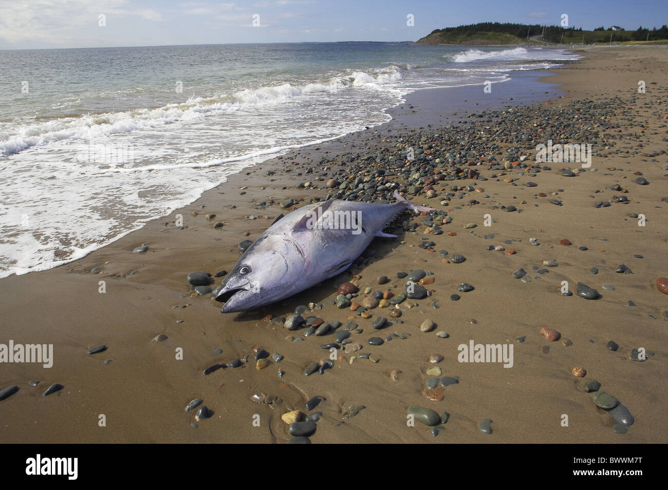 Tuna sea dead fish fish nova scotia canada beach washed up for How to fish from the beach