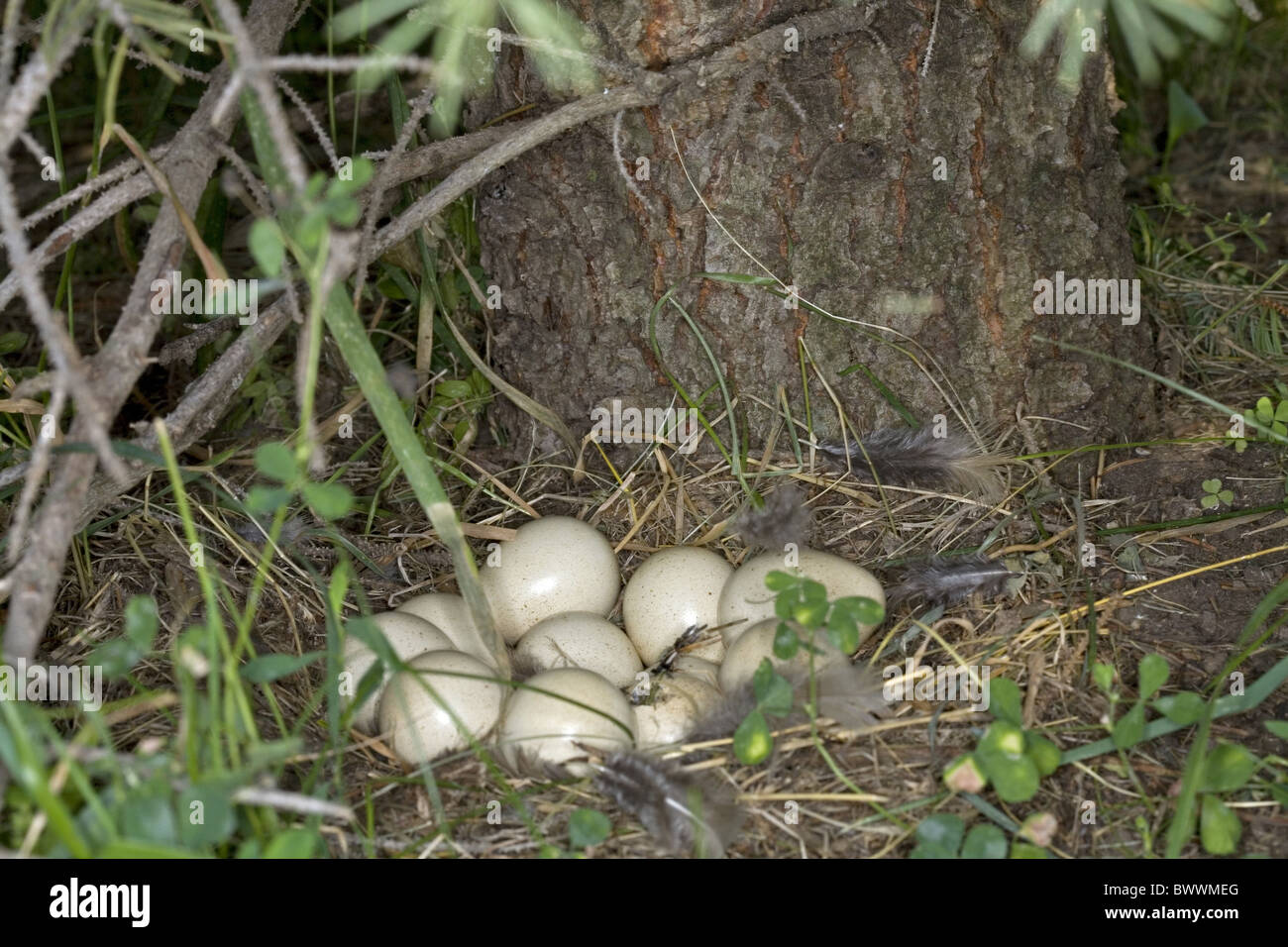 Chukar Partridge (Alectoris chukar) eggs in nest, under evergreen in