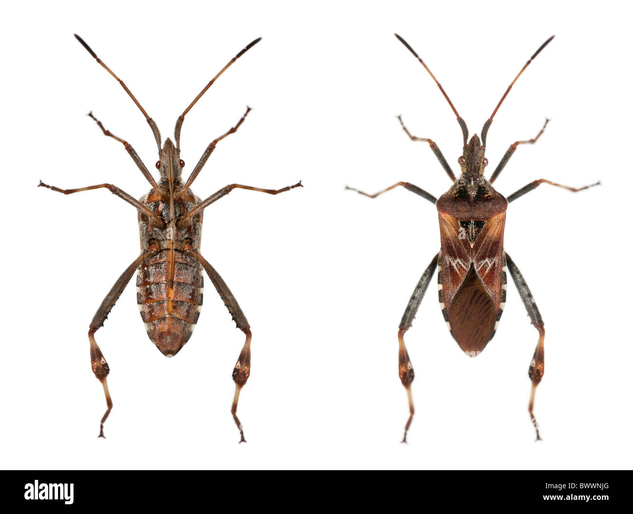 Western conifer seed bugs, Leptoglossus occidentalis, in front of white background - Stock Image