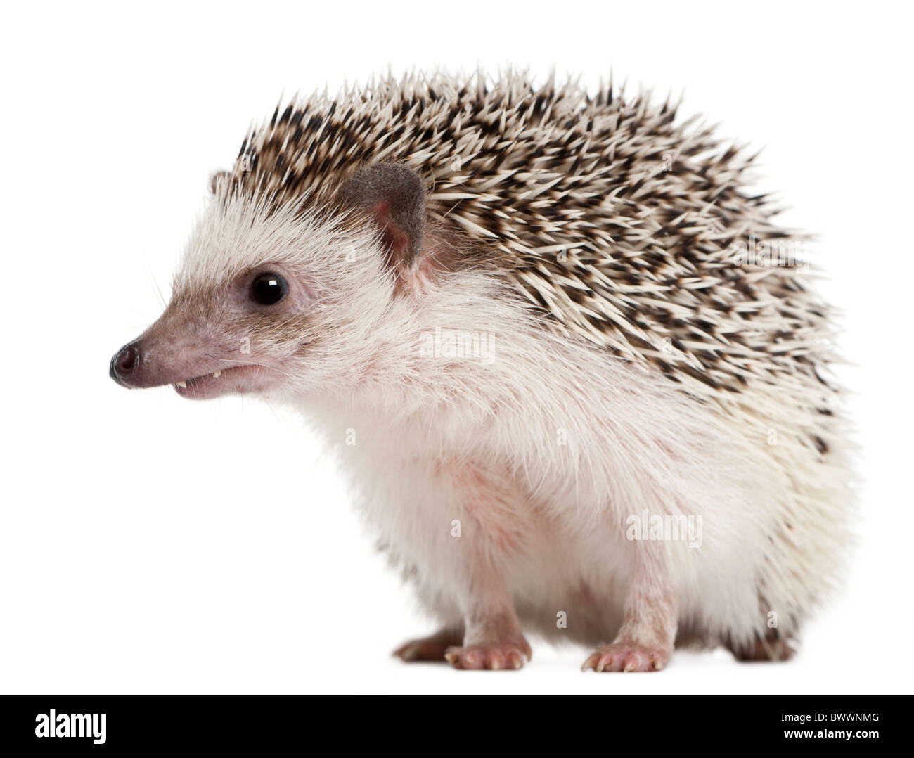 Four-toed Hedgehog, Atelerix albiventris, 2 years old, in front of white background - Stock Image