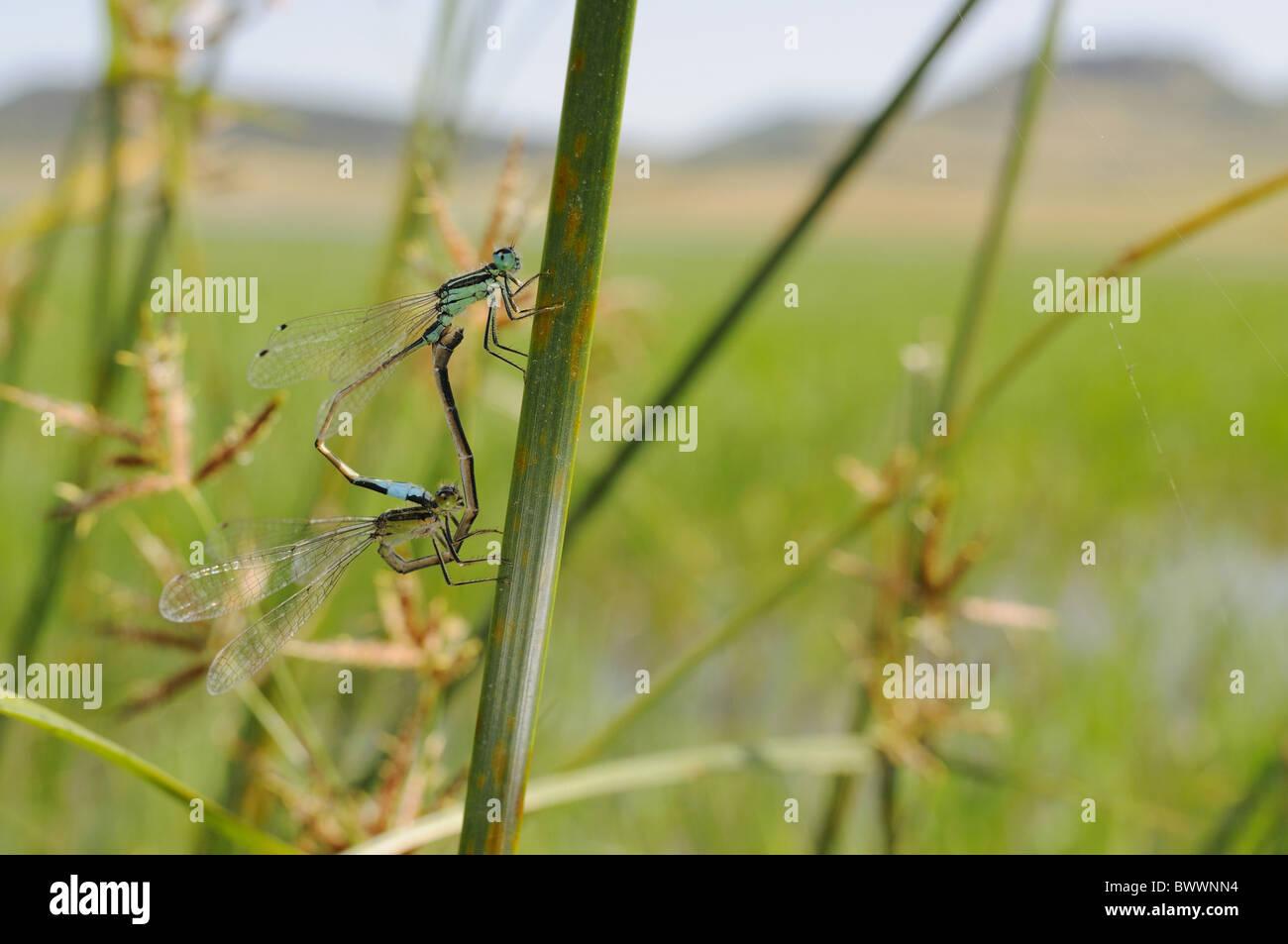 damselfly freshwater insect Invertebrates Ischnura genei Italy mating Odonata rare species Sardinia invertebrate Stock Photo