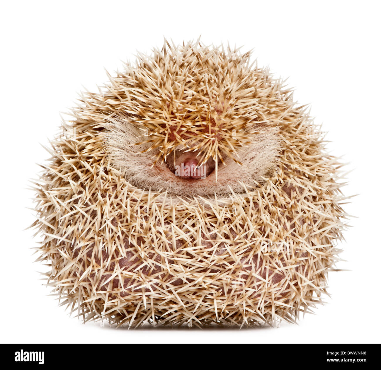 Four-toed Hedgehog, Atelerix albiventris, 2 years old, balled up in front of white background - Stock Image