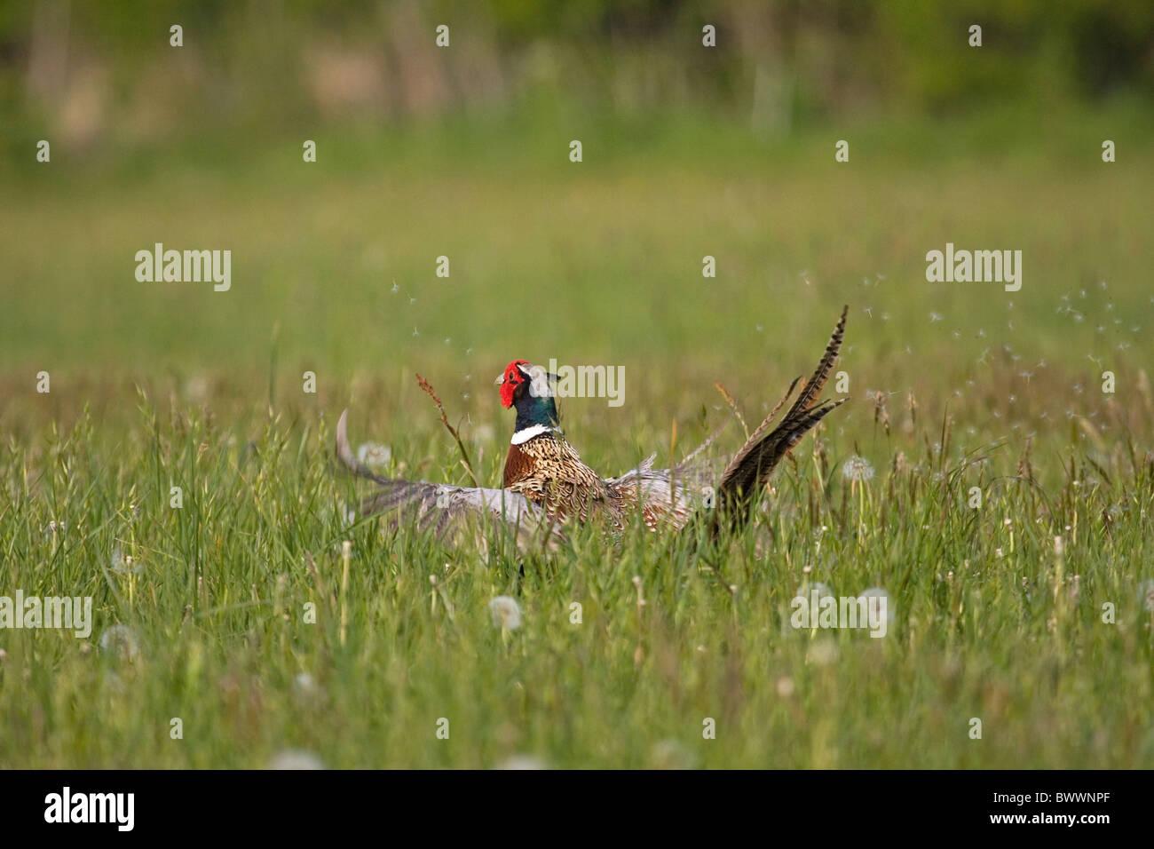 Common Pheasant Phasianus colchicus - Stock Image