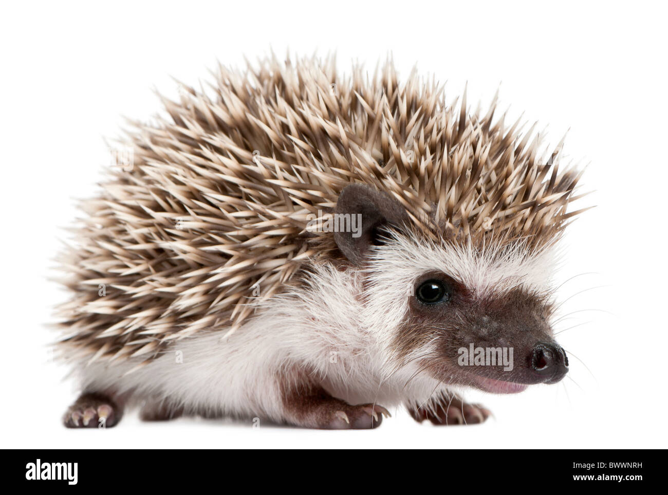 Four-toed Hedgehog, Atelerix albiventris, 3 weeks old, in front of white background Stock Photo