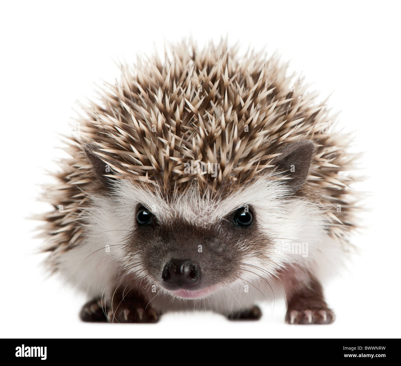 Four-toed Hedgehog, Atelerix albiventris, 3 weeks old, in front of white background - Stock Image