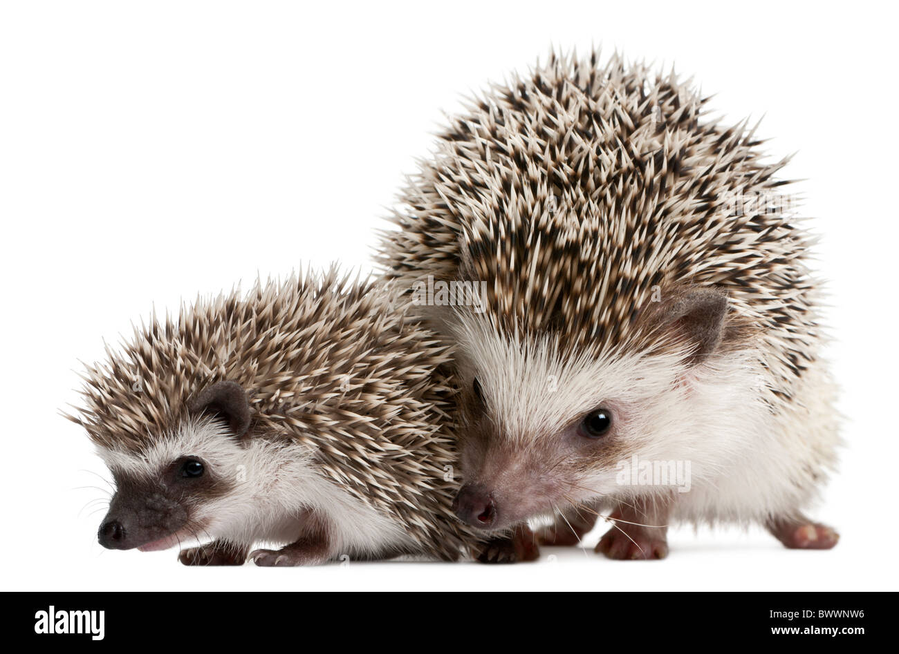 Four-toed Hedgehogs, Atelerix albiventris, 3 weeks old, in front of white background - Stock Image