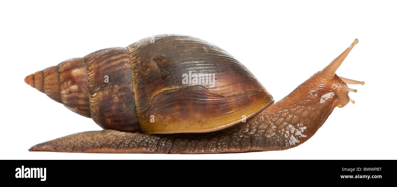 Giant African land snail, Achatina fulica, 5 months old, in front of white background - Stock Image