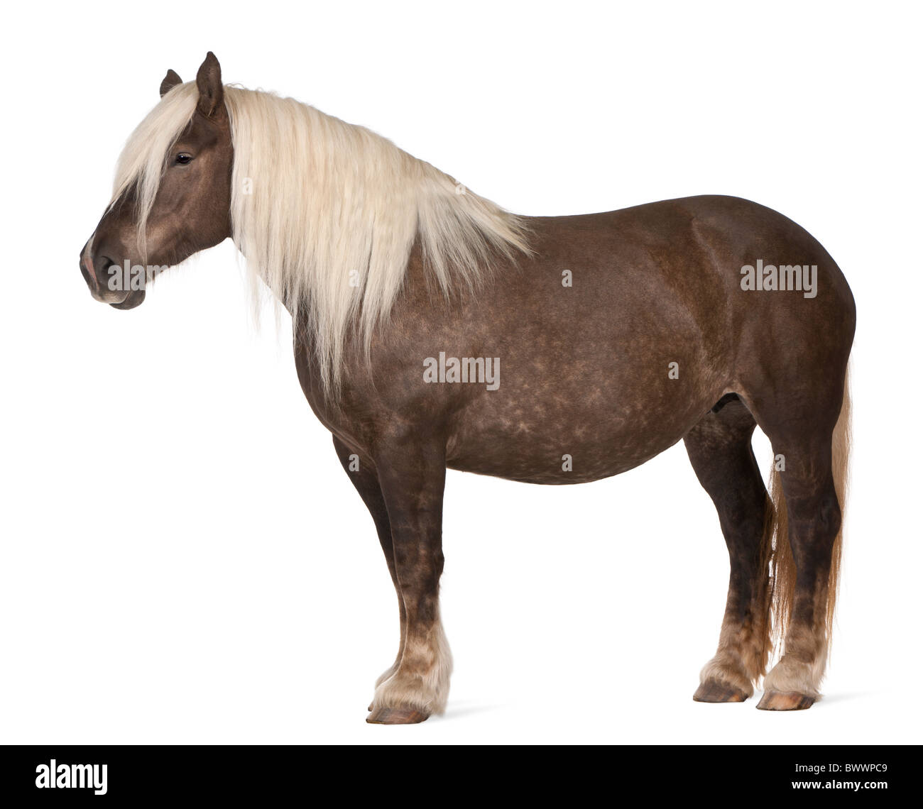 Comtois horse, a draft horse, Equus caballus, 10 years old, standing in front of white background Stock Photo