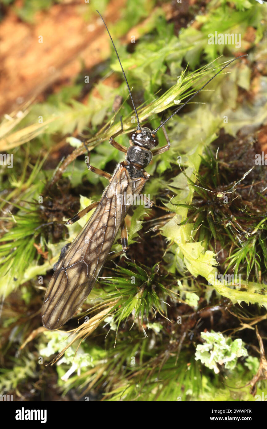 stonefly nymph moss insect bug nature natural wild wildlife environment environmental europe european powys wales - Stock Image