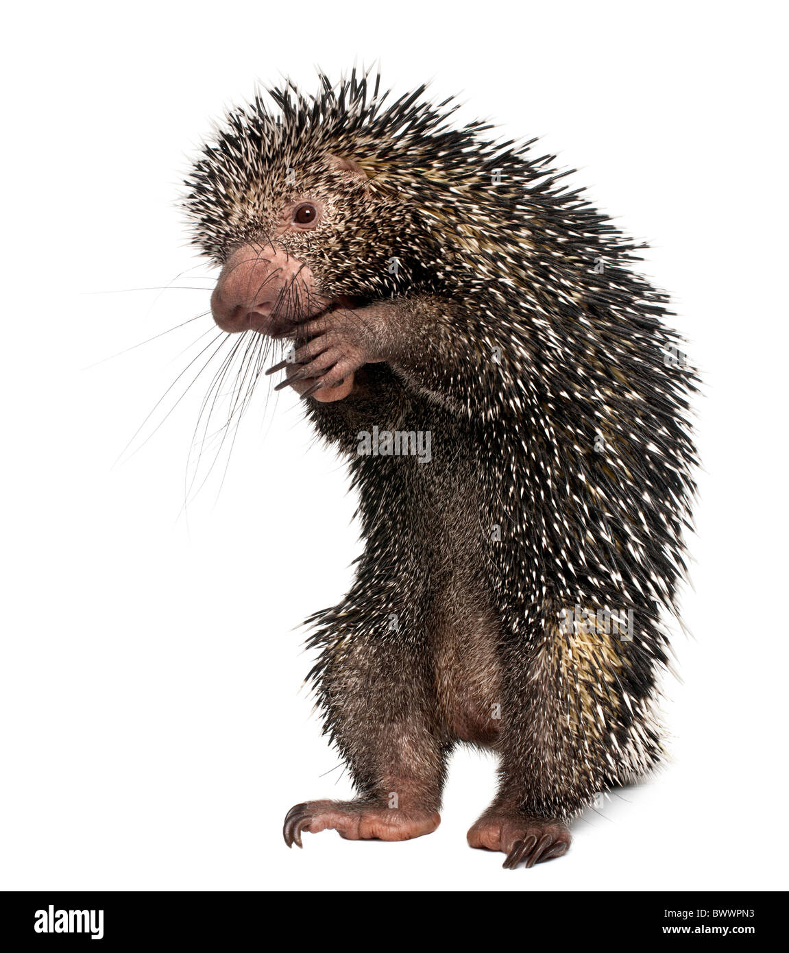 Brazilian Porcupine, Coendou prehensilis, standing in front of white background - Stock Image