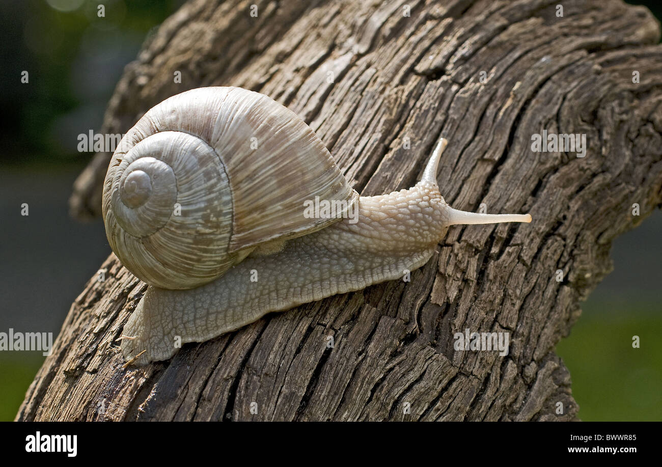 animal animals snail snails mollusc molluscs gastropod gastropods