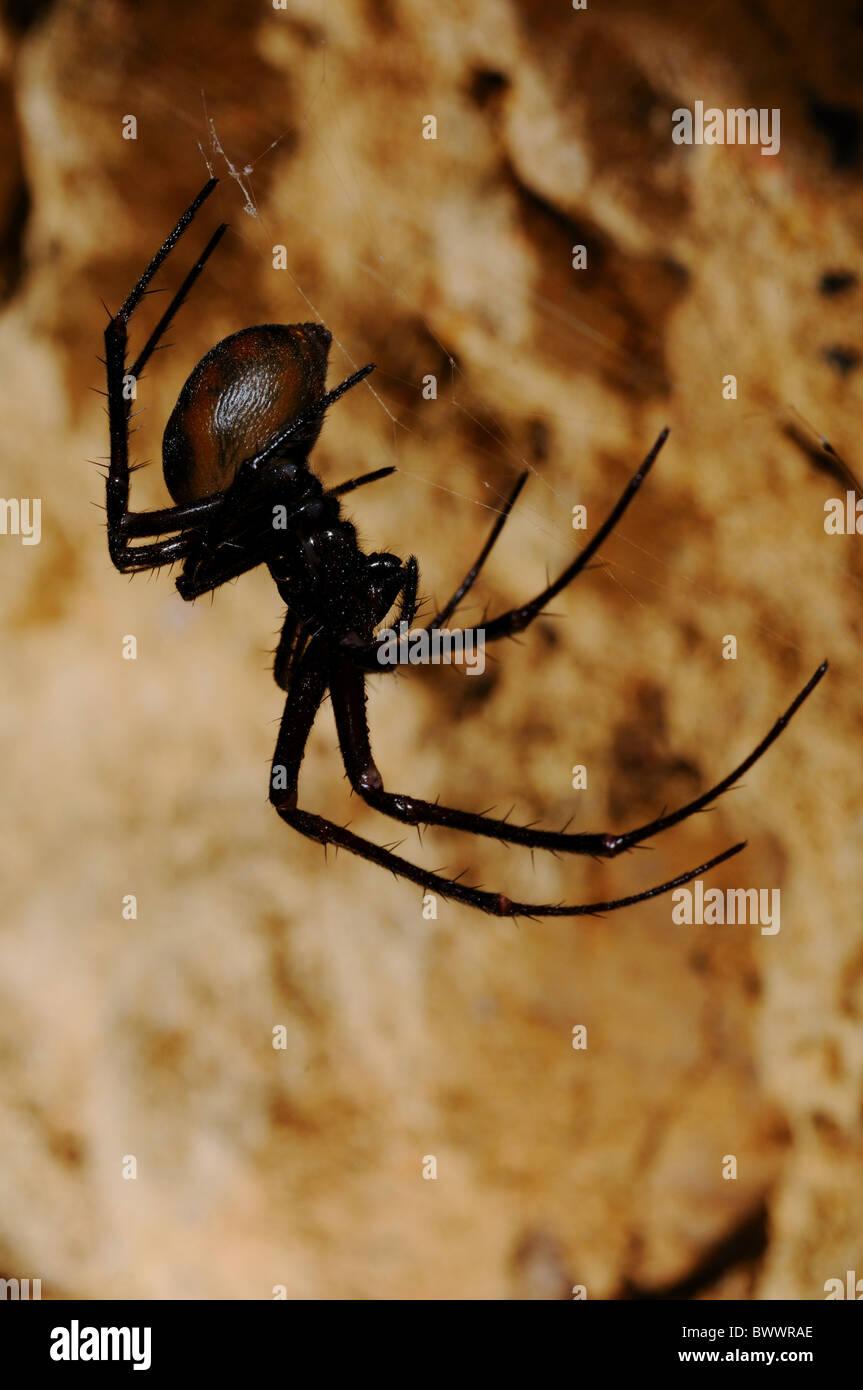 Meta bourneti cave spider spider spiders arachnid arachnids arthropod arthropods animal animals invertebrate invertebrates - Stock Image