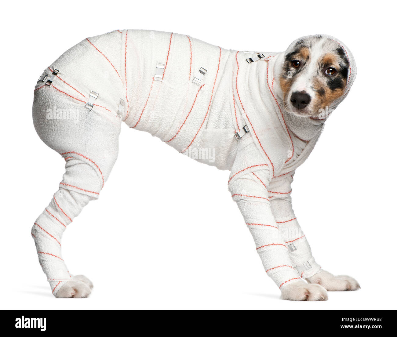 Australian Shepherd puppy in bandages, 5 months old, standing in front of white background - Stock Image
