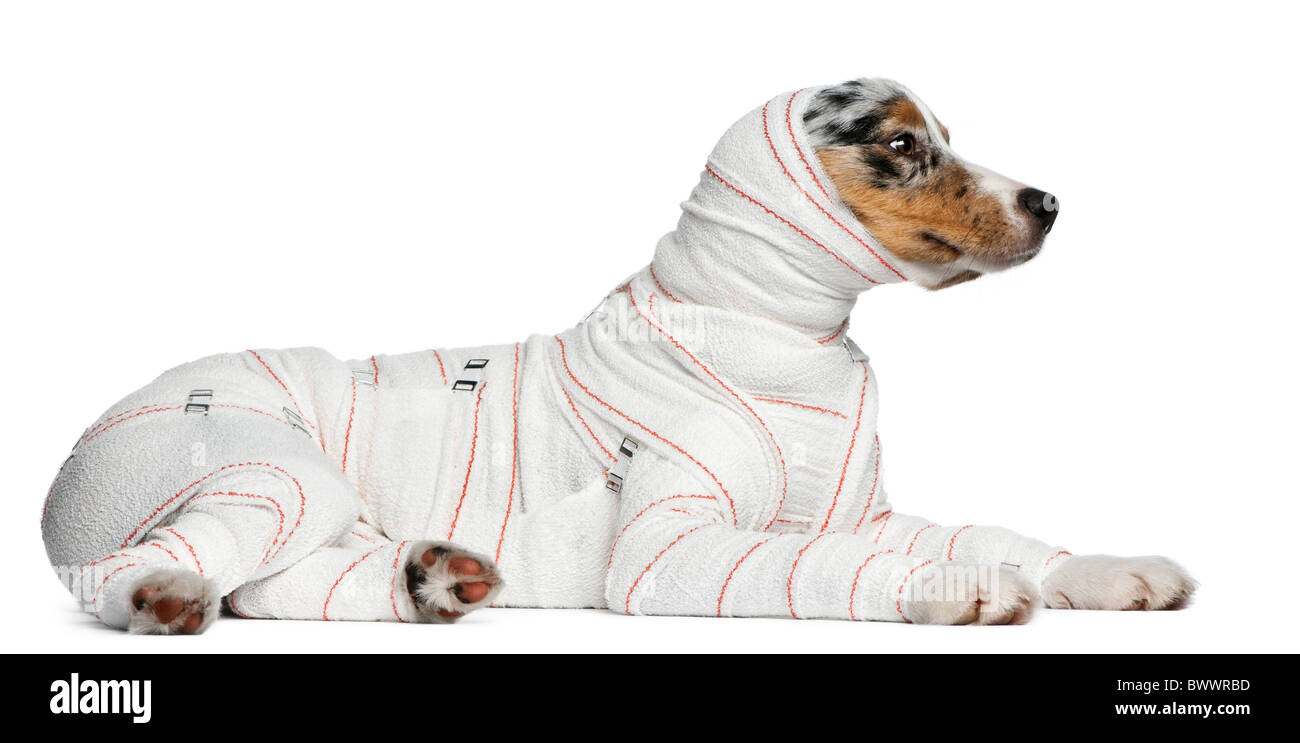Australian Shepherd puppy in bandages, 5 months old, lying in front of white background - Stock Image