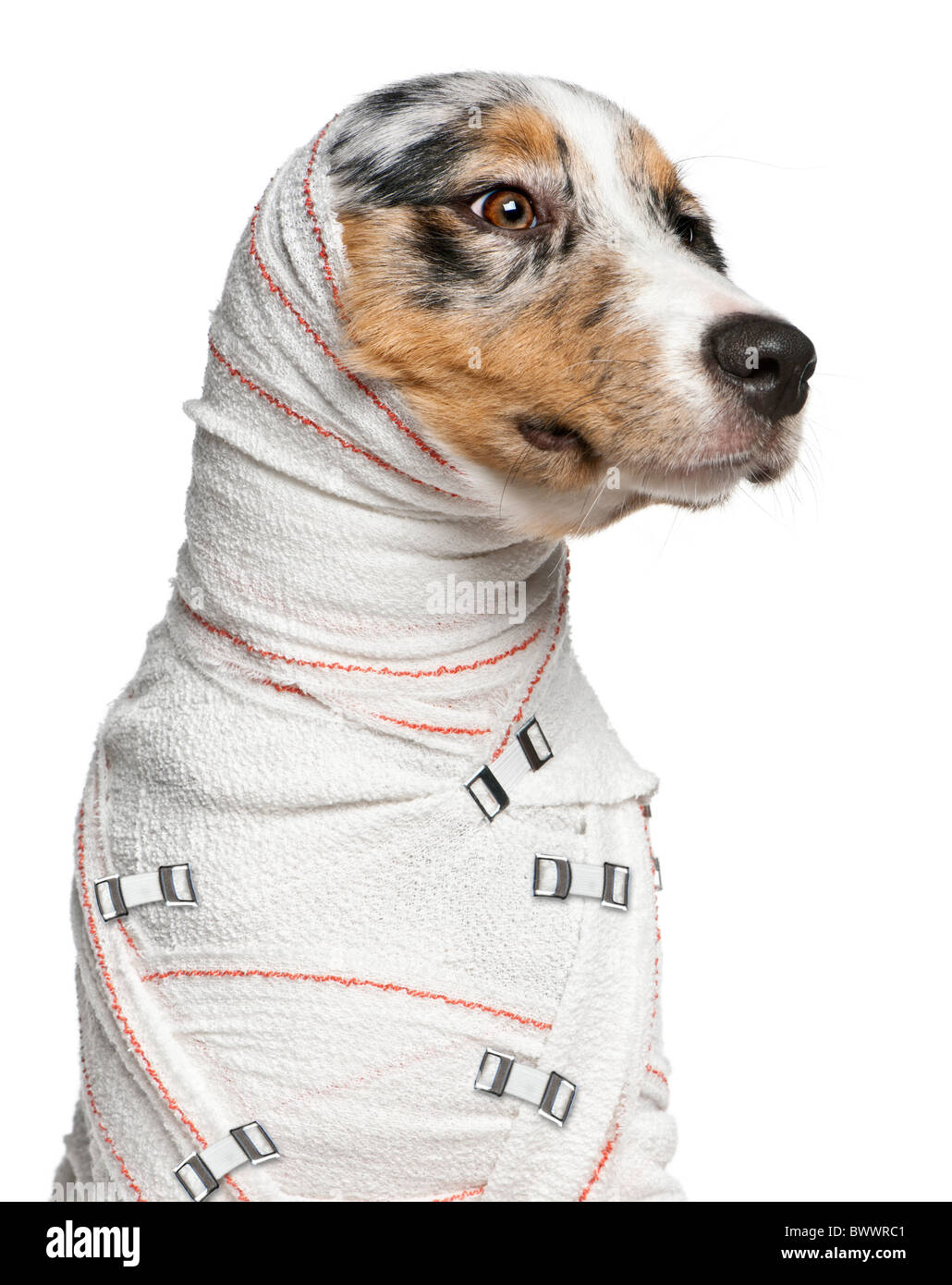 Close-up of Australian Shepherd puppy in bandages, 5 months old, in front of white background - Stock Image