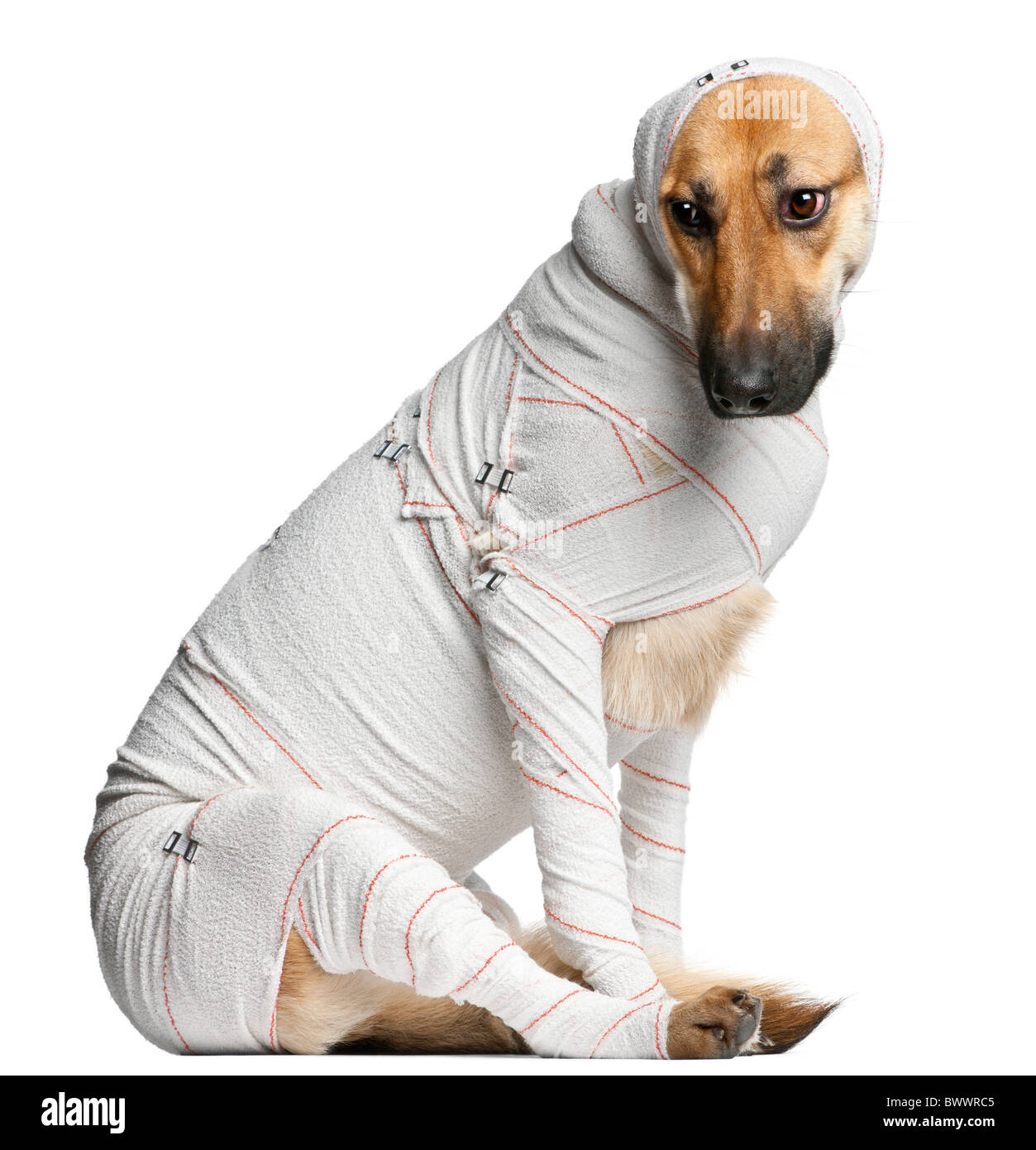 German Shepherd puppy in bandages, 4 months old, sitting in front of white background - Stock Image