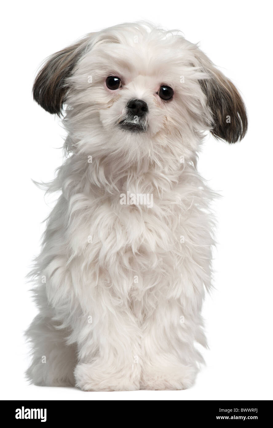 Lhassa Apso, 7 months old, sitting in front of white background - Stock Image