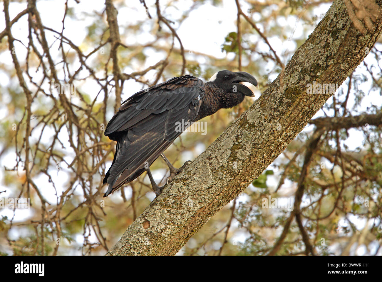 Thick-billed Raven (Corvus crassirostris) adult, calling, perched in tree, Lake Awassa, Great Rift Valley, Ethiopia, - Stock Image