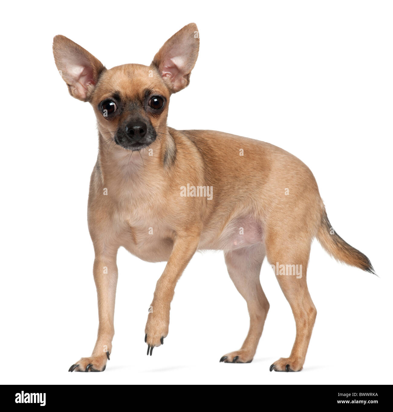Pincher, 1 year old, standing in front of white background - Stock Image