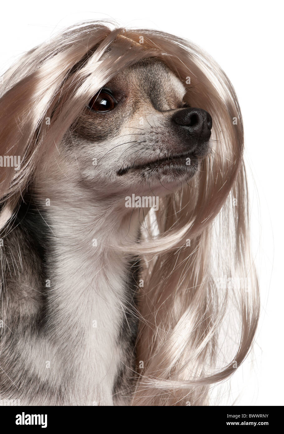 Close-up of Chihuahua with long hair wig, 3 years old, in front of white background - Stock Image