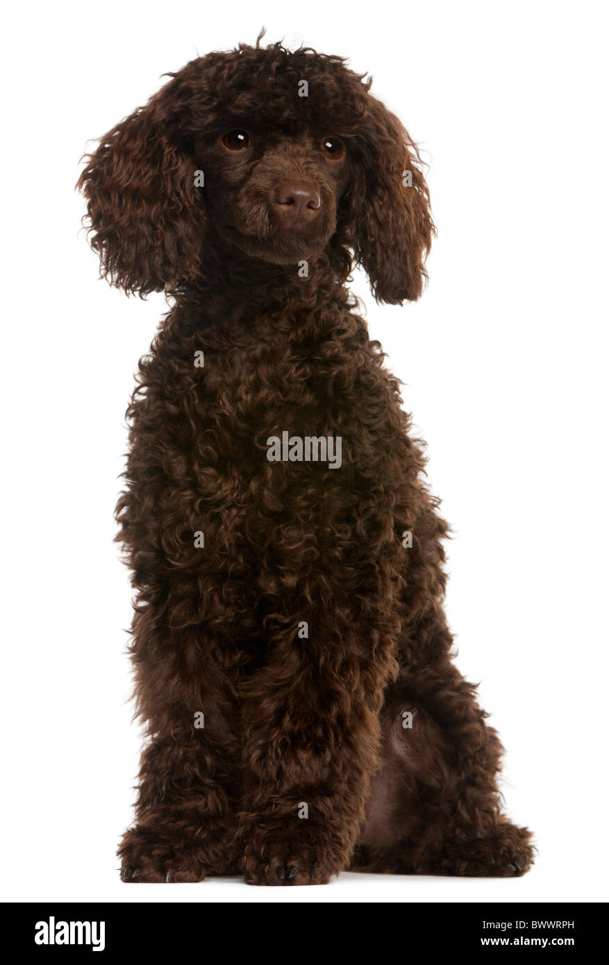 Poodle, 5 months old, sitting in front of white background - Stock Image