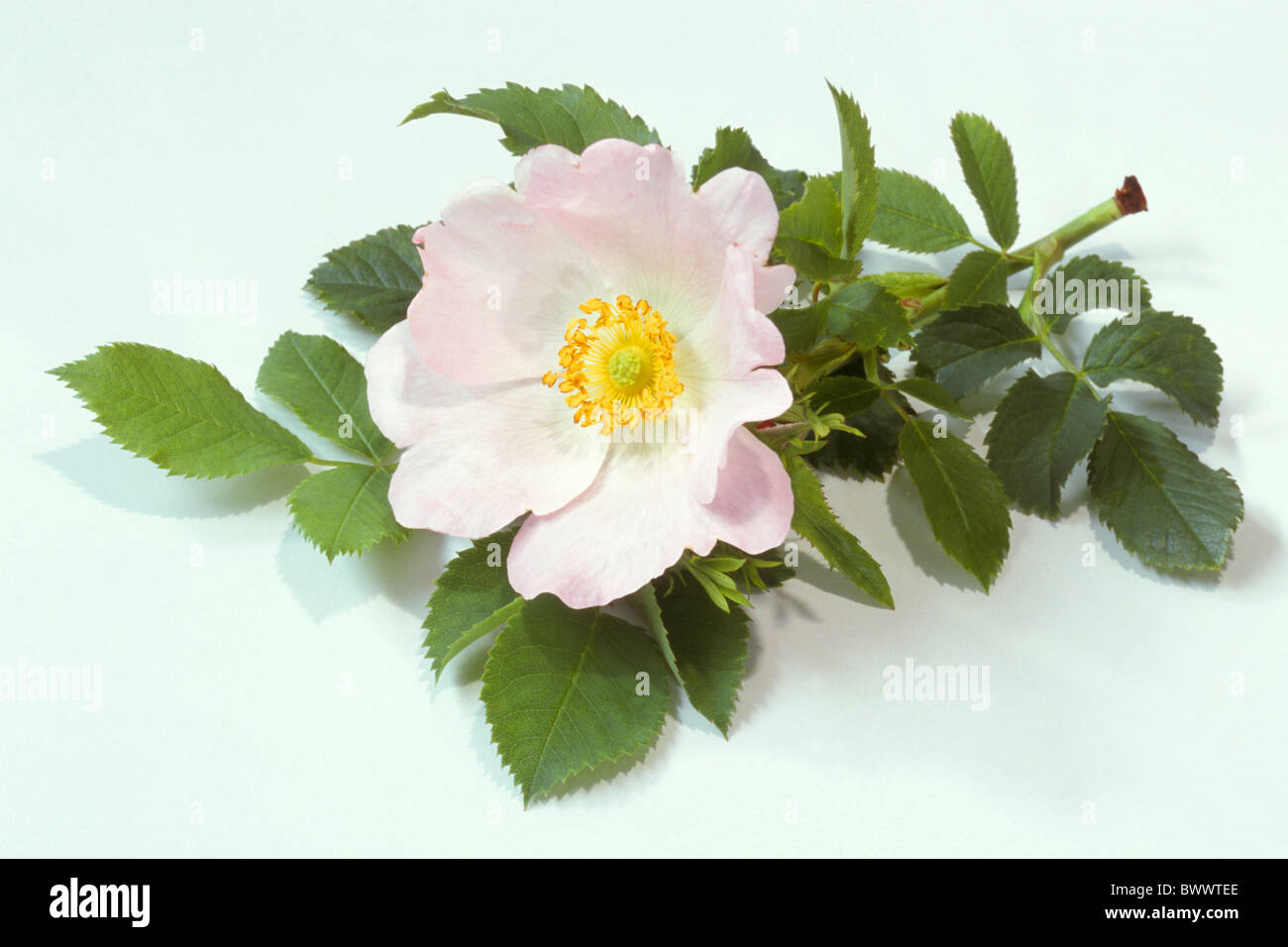 Dog Rose (Rosa canina), flower and leaves, studio picture), flower and leaves, studio picture. Stock Photo